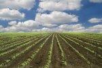 jonge-mais-veld-en-wolken